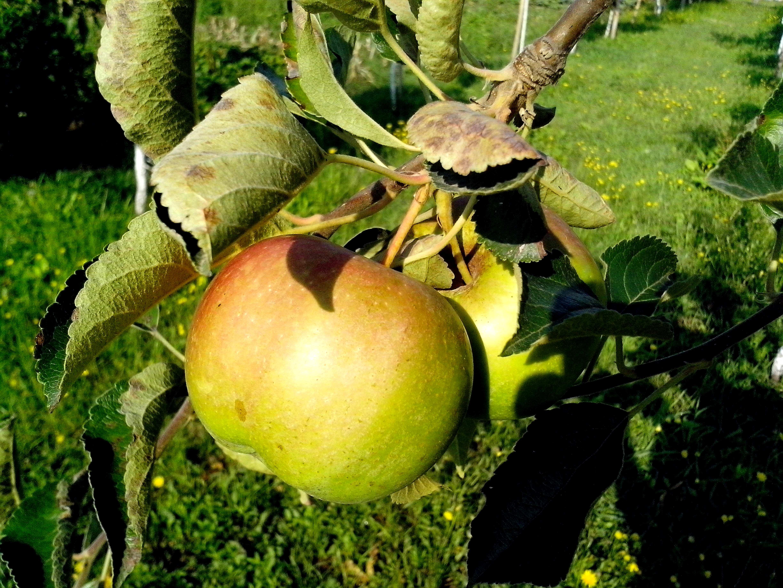 Free photograph; green, apple, tree