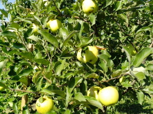 green, organic apples, tree
