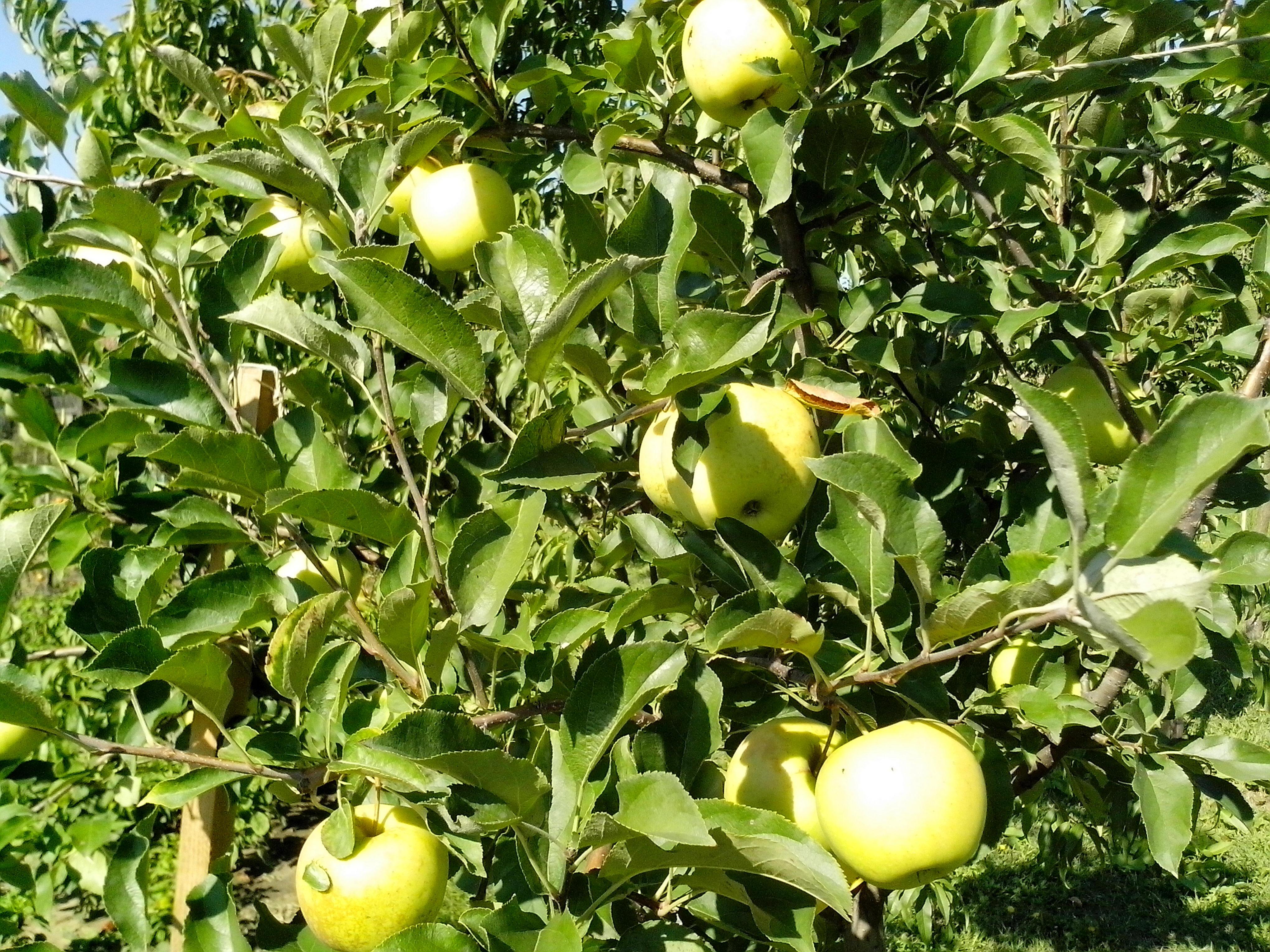 Free photograph; green, organic, apples, tree