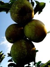 ripe, apples, branch