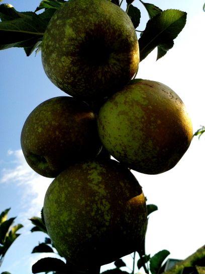half, ripe, apples, branch