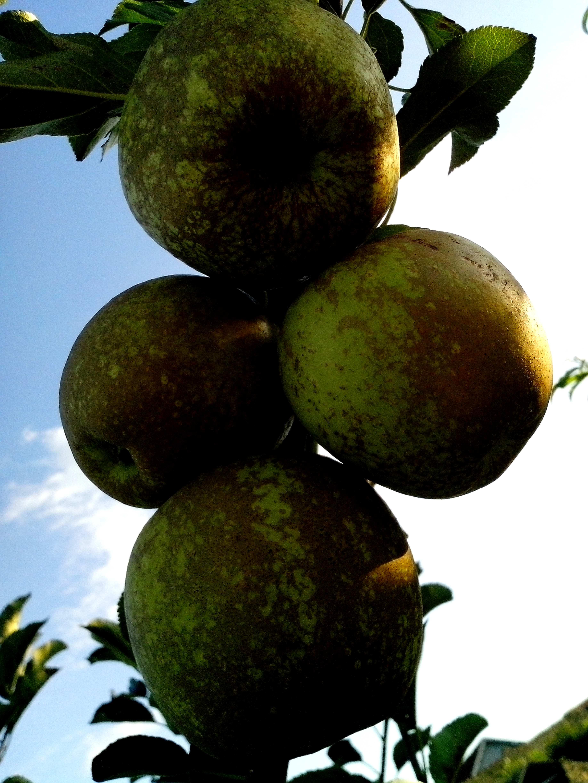 Free photograph; half, ripe, apples, branch