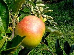 orange, pommes, arbre