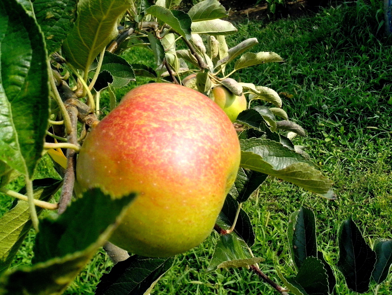 туники нашем сорт яблони оранжевое фото и описание сорта сюрпризом время