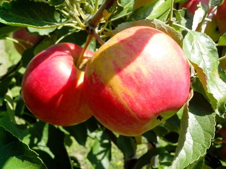 organic, apple, fruits, tree