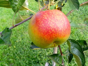 organic apple, tree