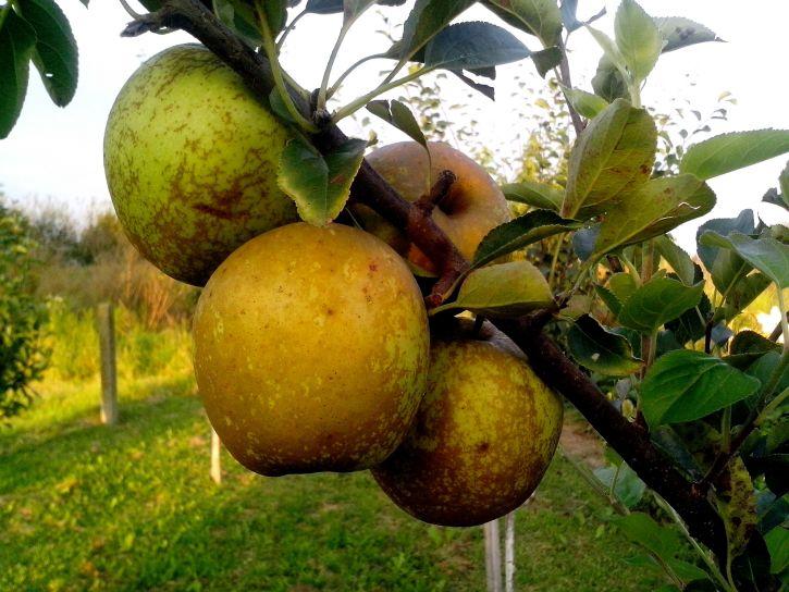 organic, apple, production