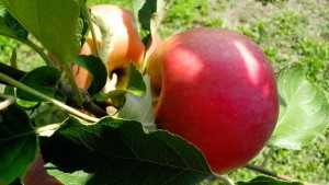 organic apple, production, nature