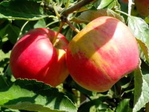 pommes biologiques