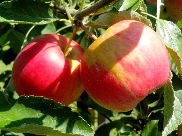 organic, apples