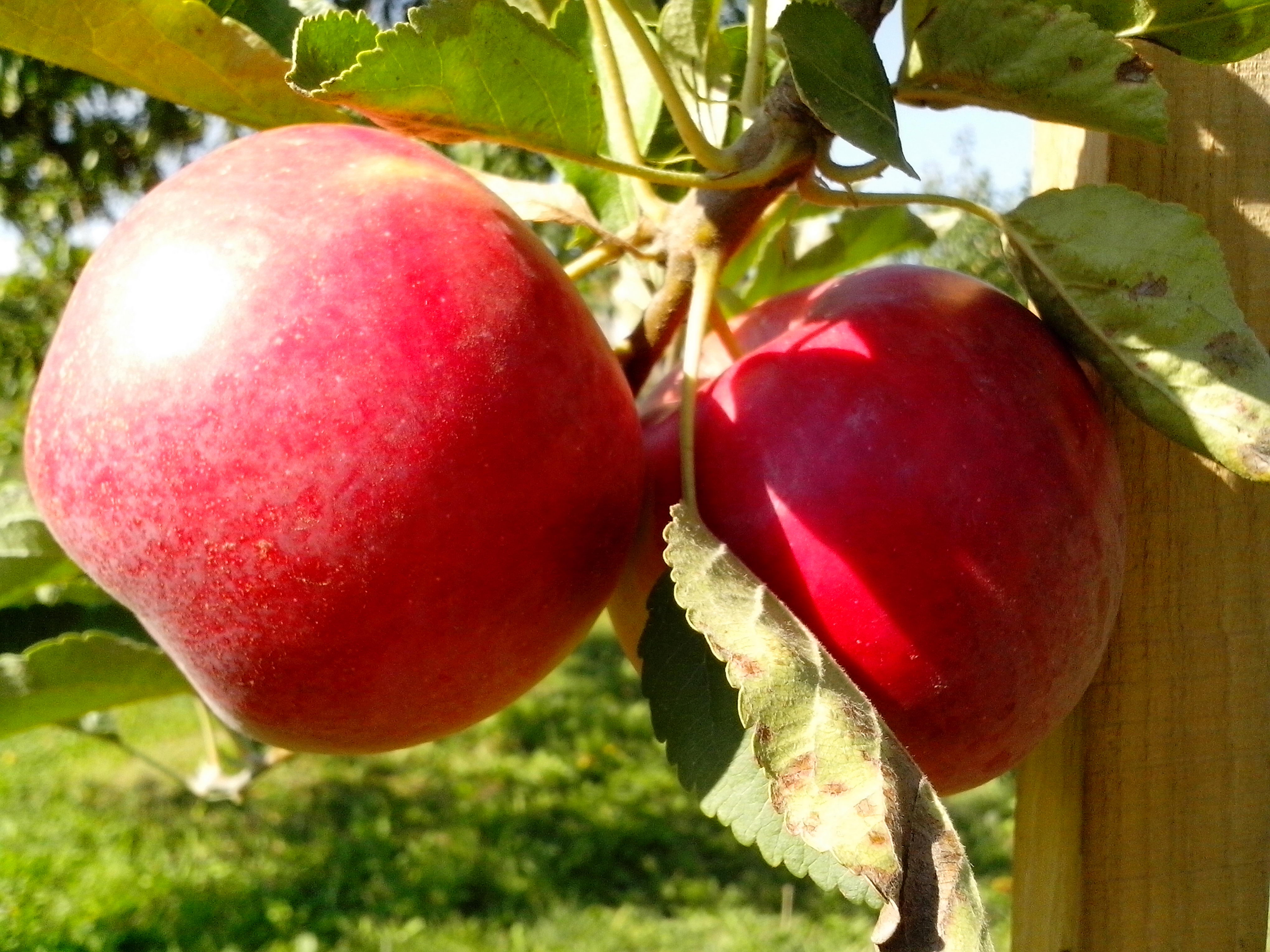 Free photograph; organic, fruit, tree, apples