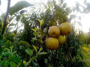 organique, jaune, pomme, production