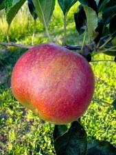pomme rouge, organique, verger
