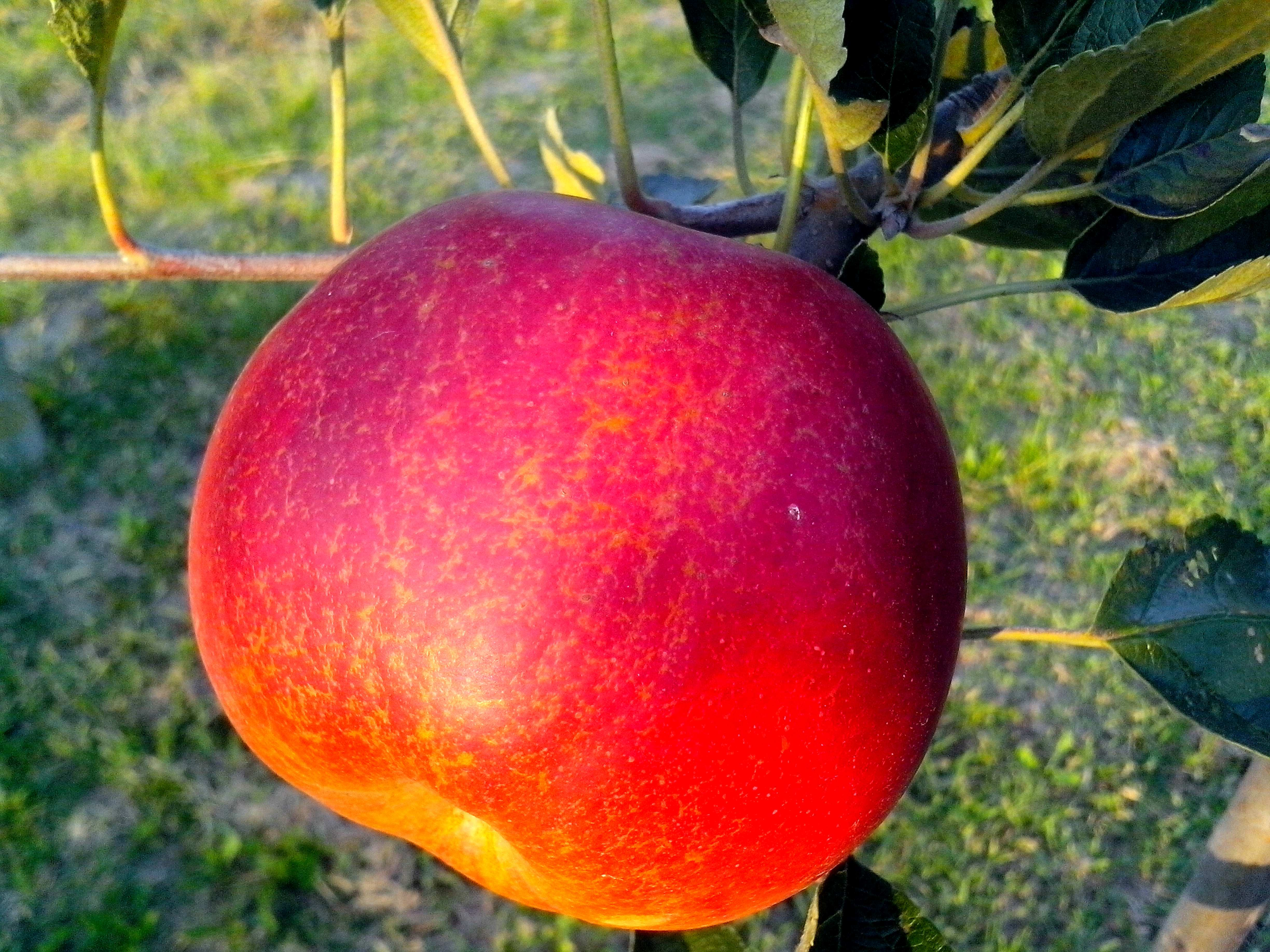 Free photograph; red, apple, organic, production