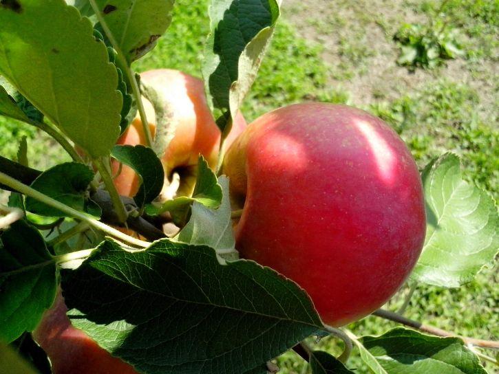 pommes rouges, verger, organique, production