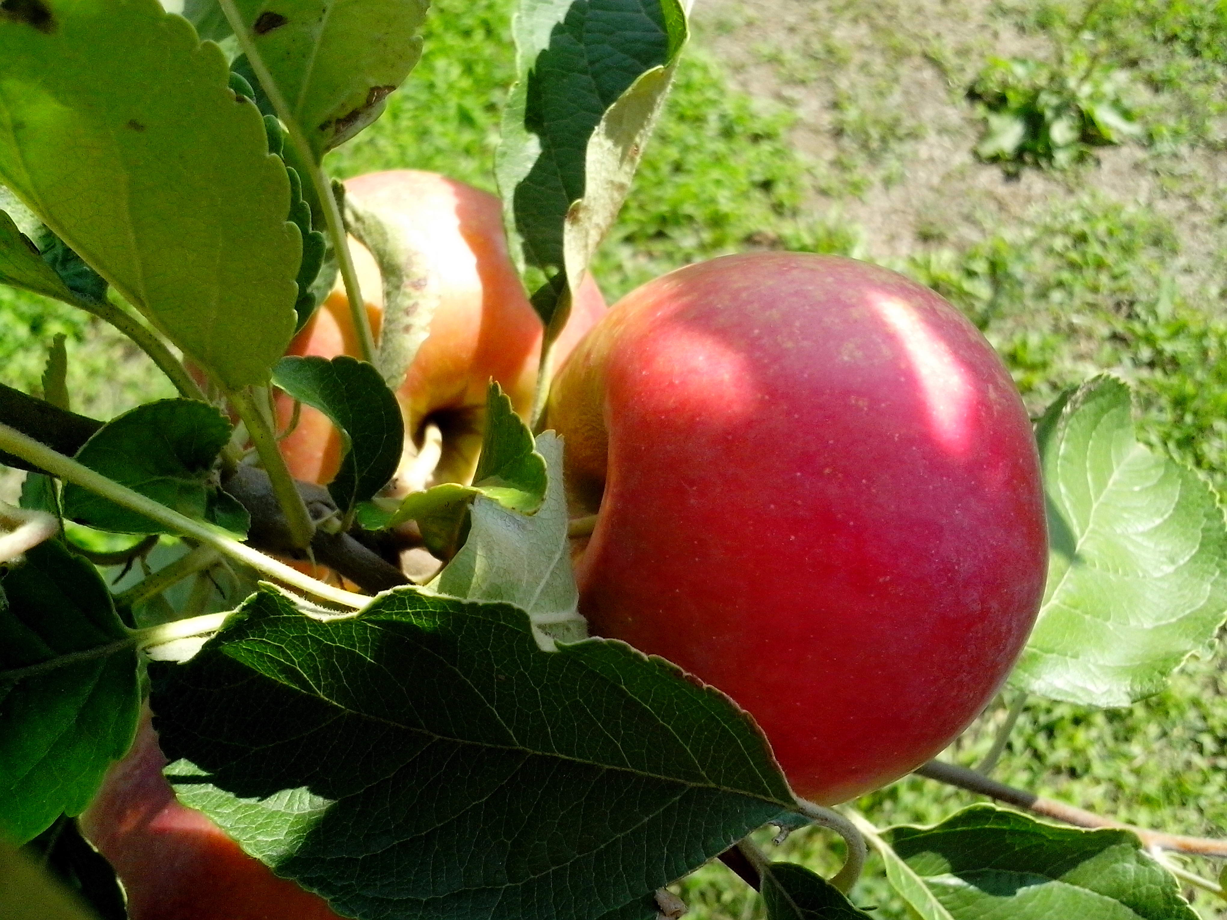 Free photograph; red, apples, orchard, organic, production