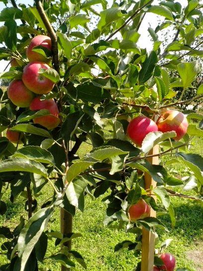 pommes rouges, branche, verger