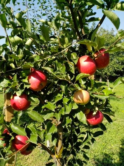 red apples, small tree