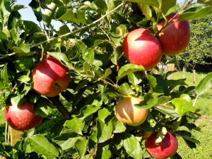 red apples, organic, production