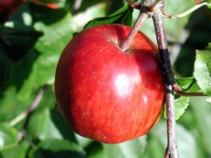 ripe, apple, branch