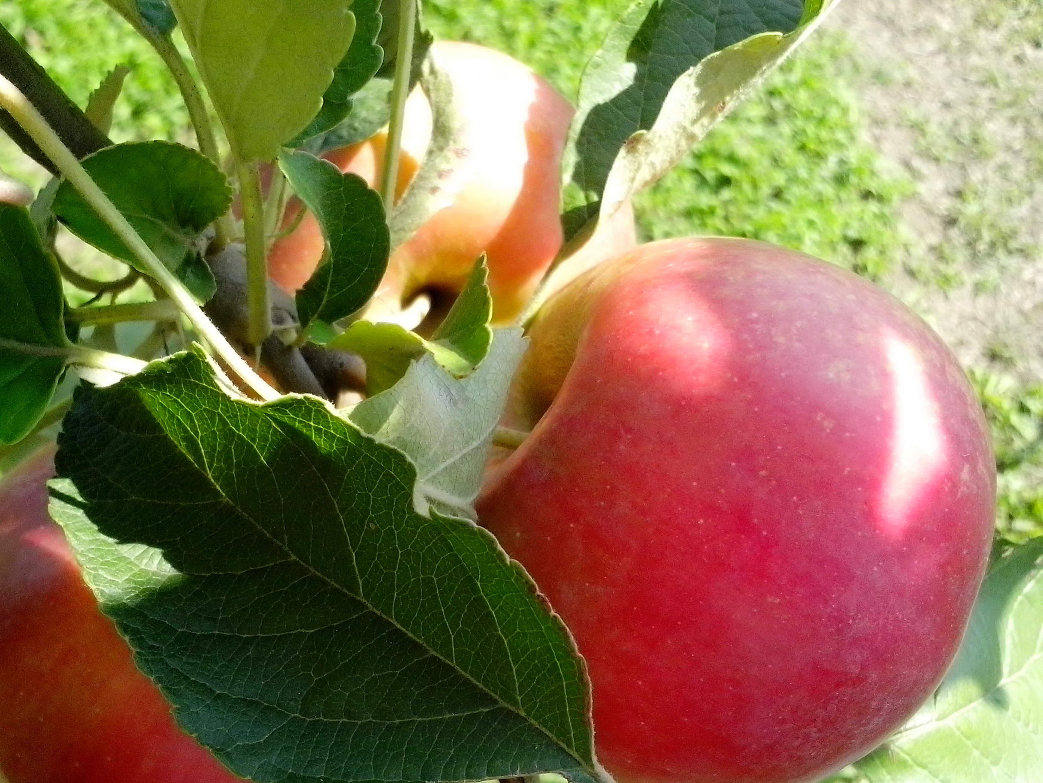 Free photograph; ripe, red, apple, organic, production