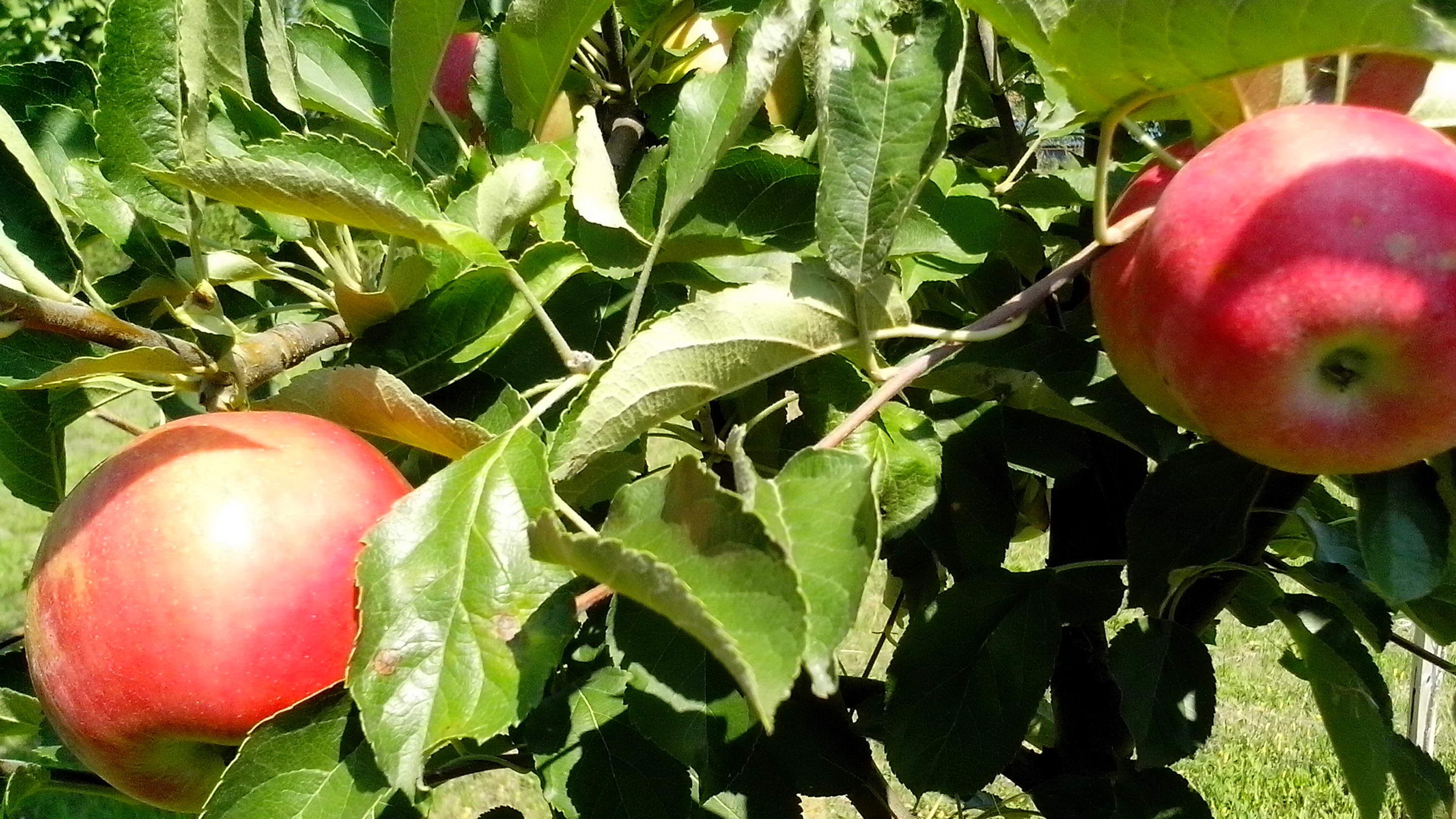 Free photograph; ripe, red, organic, apples