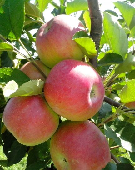 several, organic, apples, tree