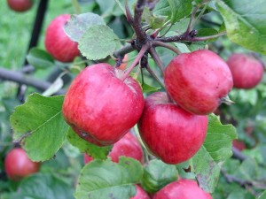 small, apples, branch