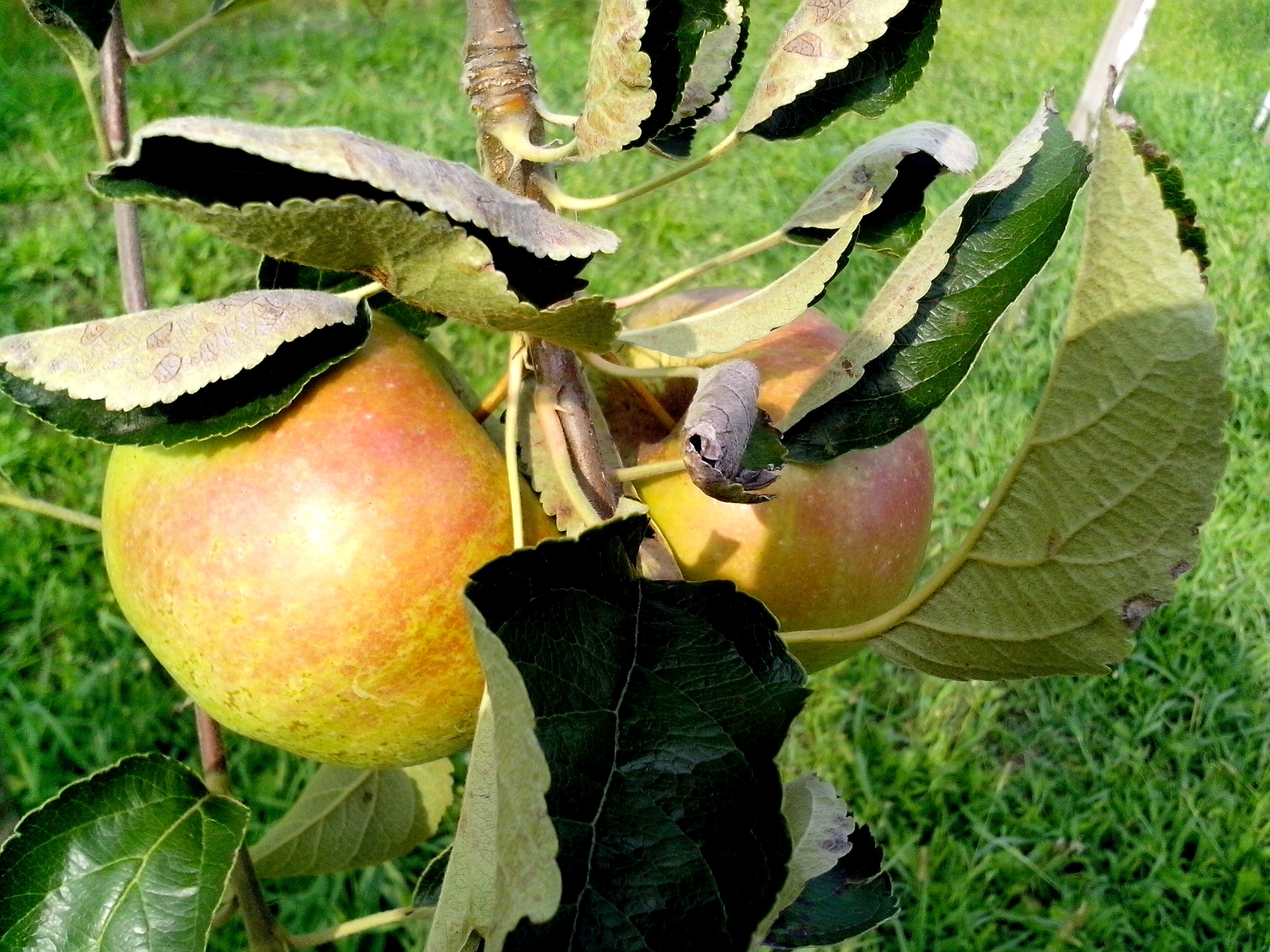 Free photograph; two, apples, tree, orchard
