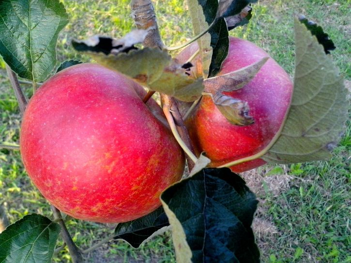 two, big, apples, tree
