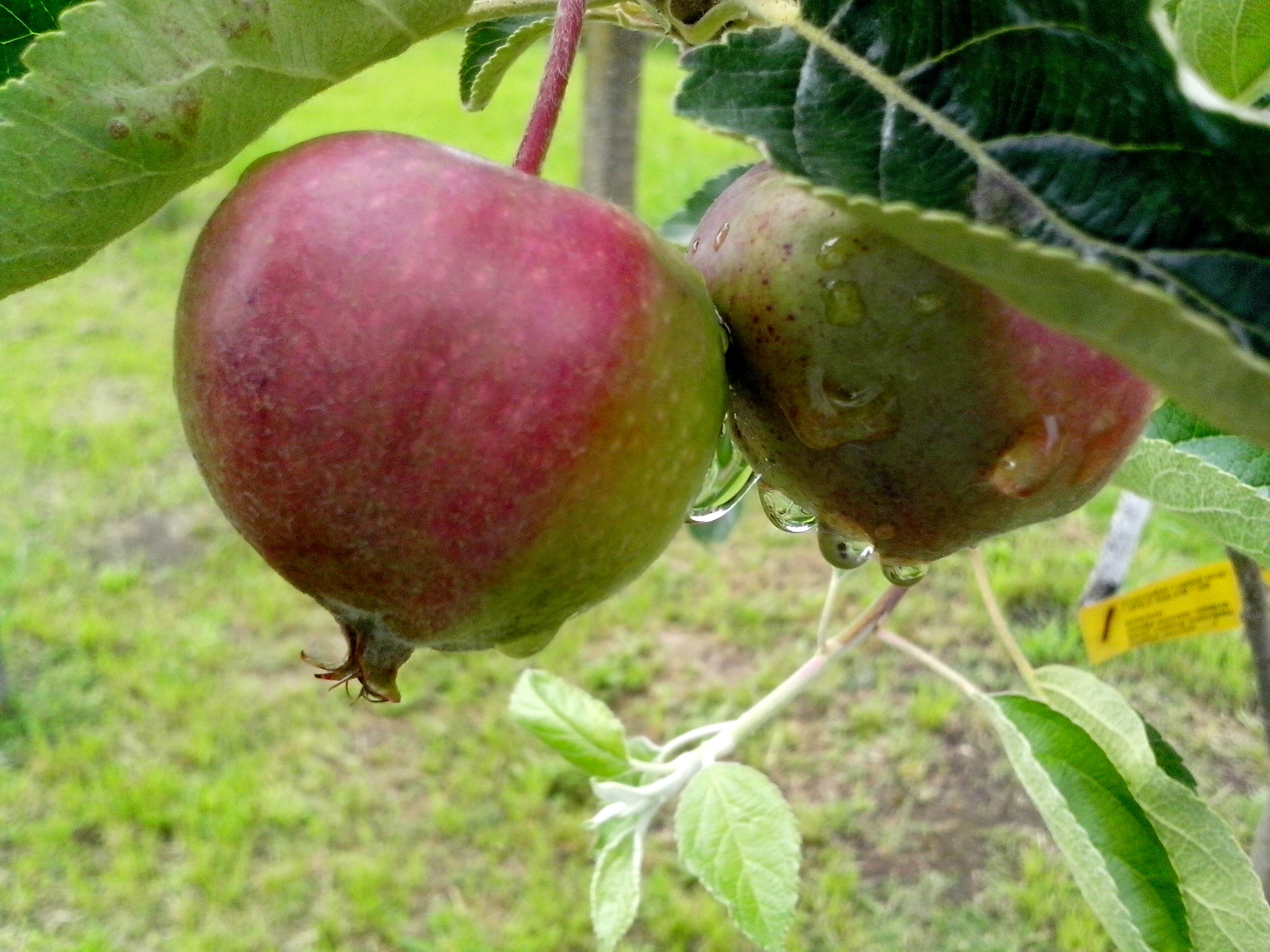 Free photograph; two, green, red, apples, tree