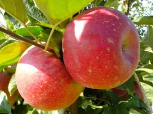 kedua, apel merah, organik