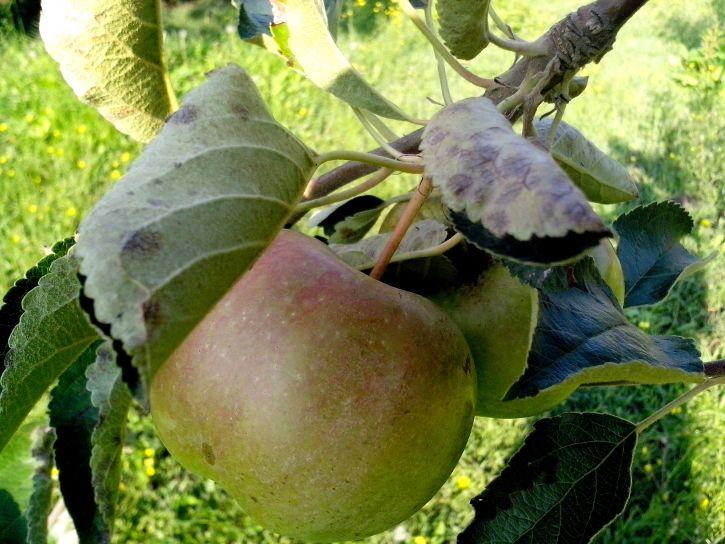 yellow, green, apple, tree, close