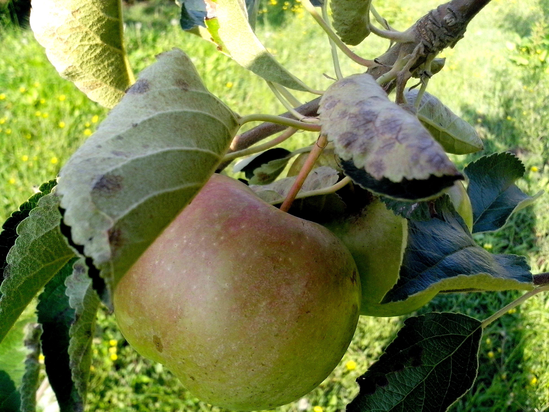 Free photograph; yellow, green, apple, tree, close