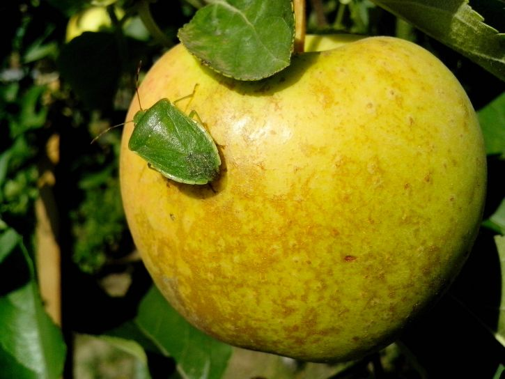 jaune, pomme, vert, bogue