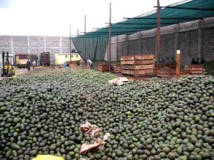 collecte, avocat, fruits, broyés, transformés, l'huile, exportés, Afrique