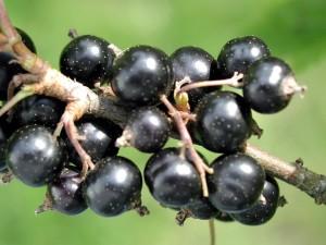 black, currant, fruit