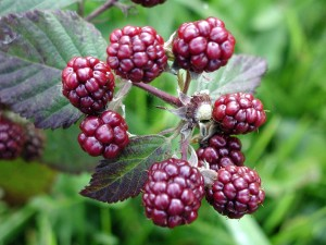 blackberries, high resolution