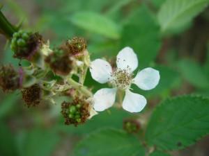 blackberry, flowering