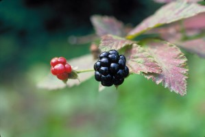 wild, blackberry, high resolution