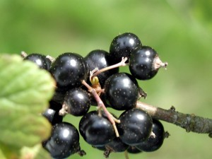 black currant, fruit