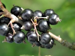 cassis, fruits, Carissa ovata