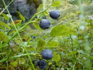 blueberries, green leaves