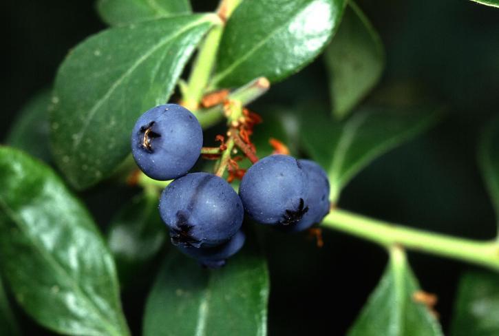 blueberry, close