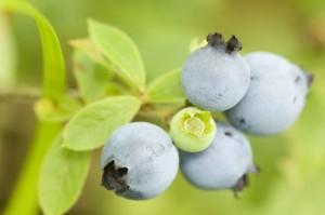 de près, cluster, mûri, sauvage, bleuets, fruits