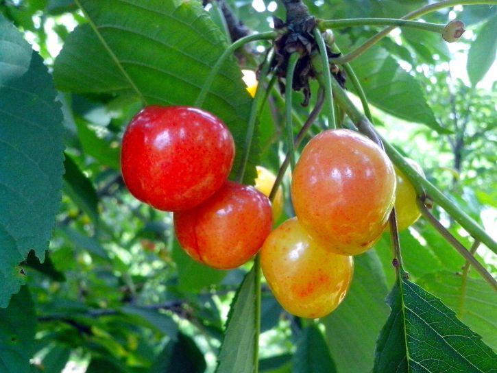 cherries, branch