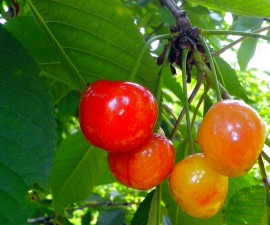 semi-ripe, cherries, branch