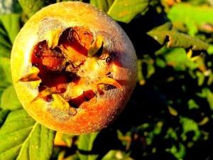up-close, medlar, fruit, plant