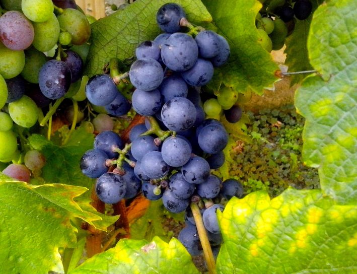 azul, uvas, fruta