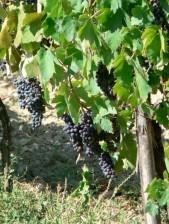 blue, grapes, vineyard
